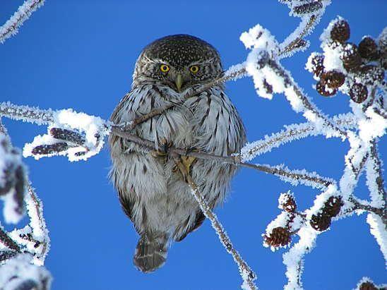 Pygmy owl winter #owl
