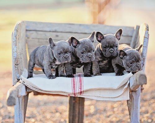 French Bulldogs French Bulldog Puppies Blue French Bulldog