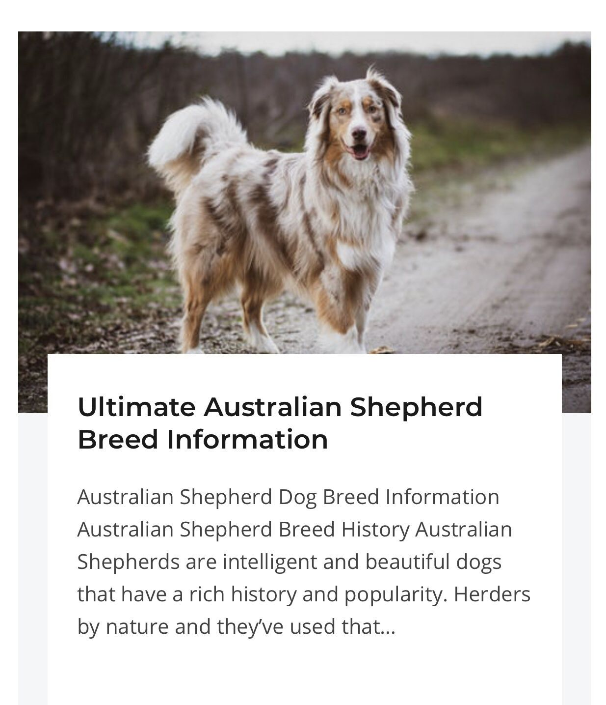 Australian Shepherd Dog Breed Information In 2020 Australian Shepherd Dogs Shepherd Dog Breeds Black Australian Shepherd