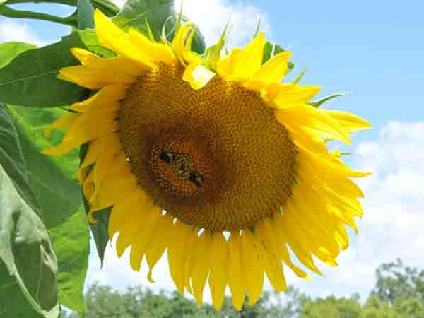 Mammoth Grey Striped Sunflower Plants Heirloom Seeds Garden Plants