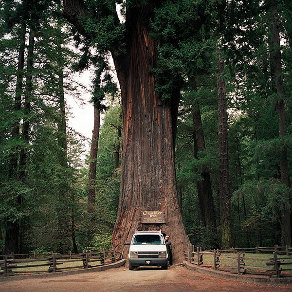 The Chandelier Tree is a 315 foot tall coast redwood tree in ...