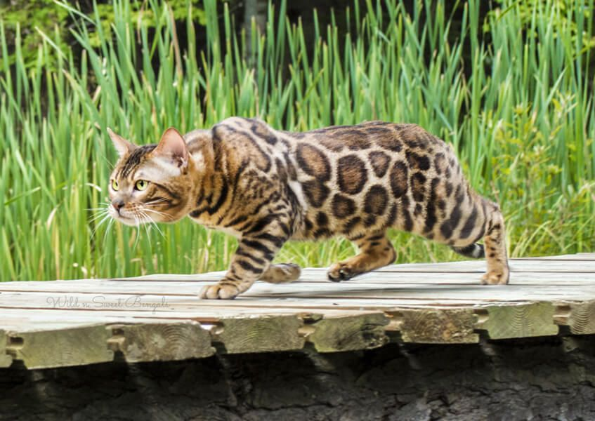 Bengal Kittens Amp Cats For Sale Near Me Bengal Kitten Bengal Kittens For Sale Kittens
