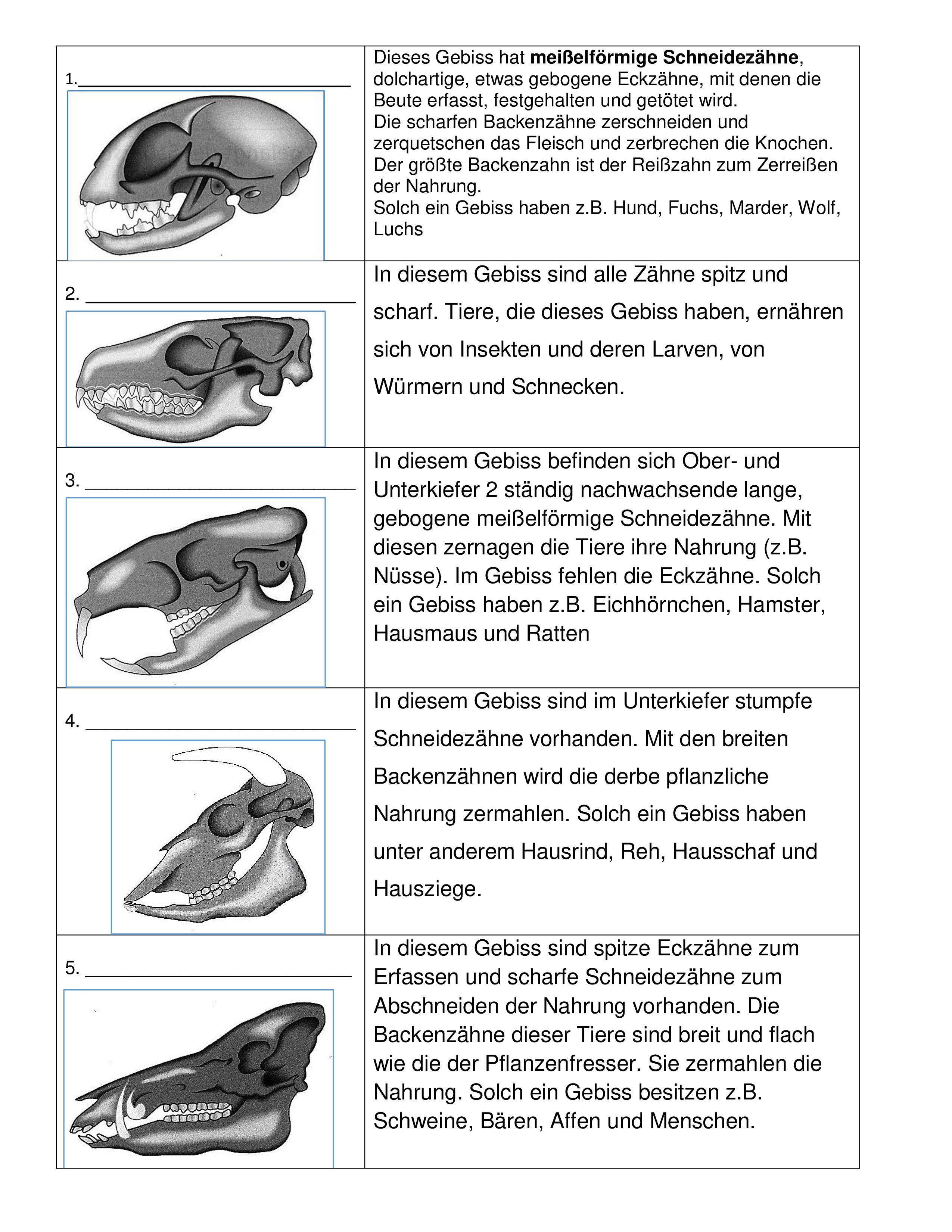 Gebisse Von Saugetieren Unterrichtsmaterial Im Fach Biologie Gebiss Saugetiere Biologie