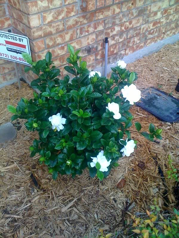 Can Gardenia Survive In Utah With Images Garden