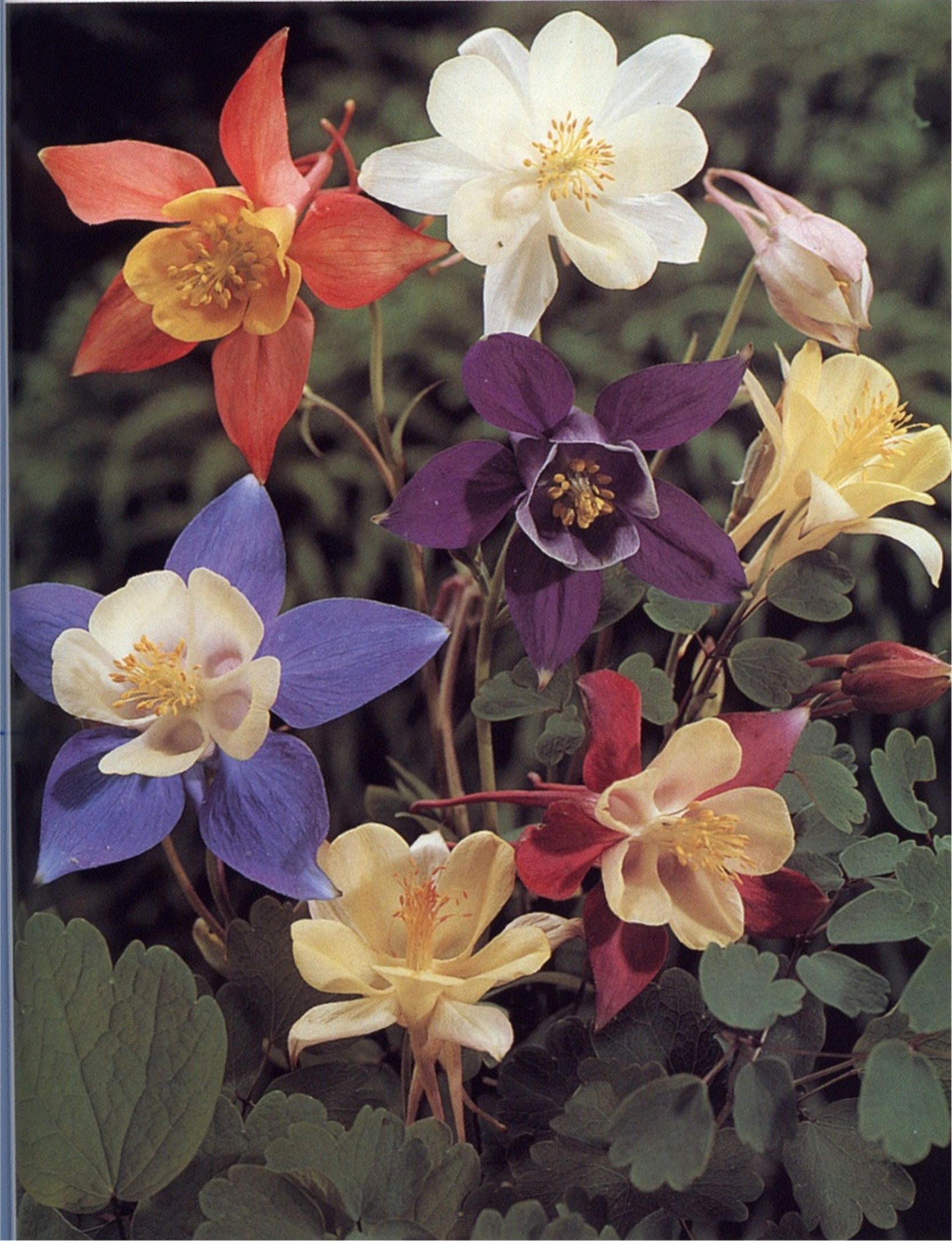 Aquilegia Hybrids Mckana S Giants These Large 36 To 48 Inches