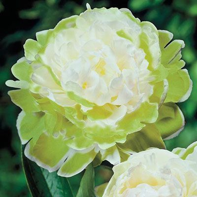 Peony Green Halo With Images Deer Resistant Perennials Fall Plants Peonies