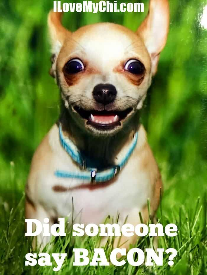 We Have Had So Many Cute Funny Chihuahua Memes Photos With Sayings On Our Facebook Page I Thought It Would Be Fun To Get Some Of Them Together