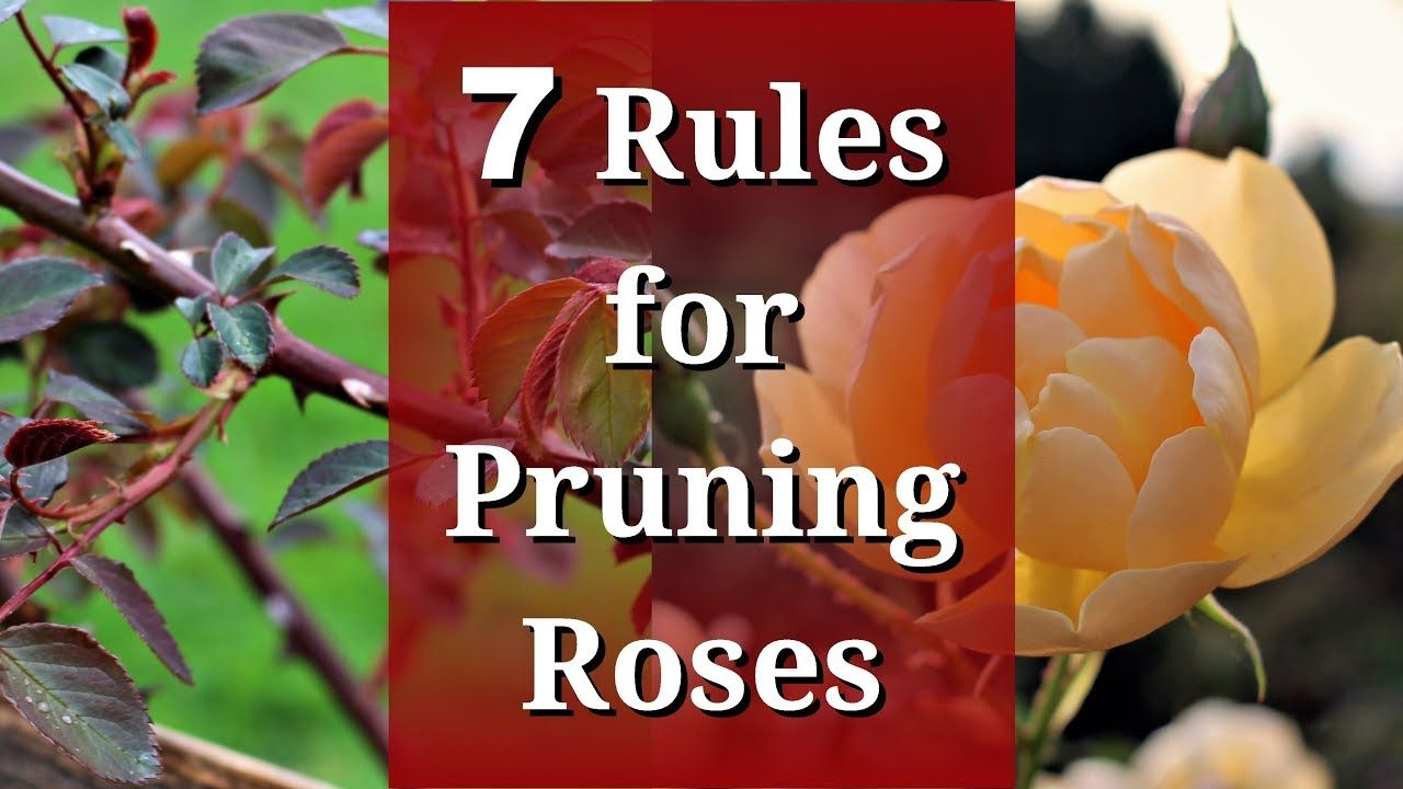 7 Rules For Pruning Roses Youtube Pruning Roses Rose Care Garden Care