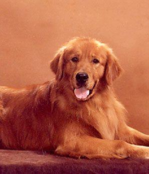 Judge Am Ch Goldrush S Judgement Day Os Dogs Golden