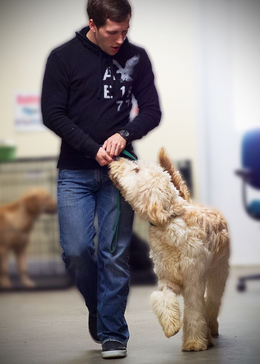 how to train a goldendoodle to walk on a leash
