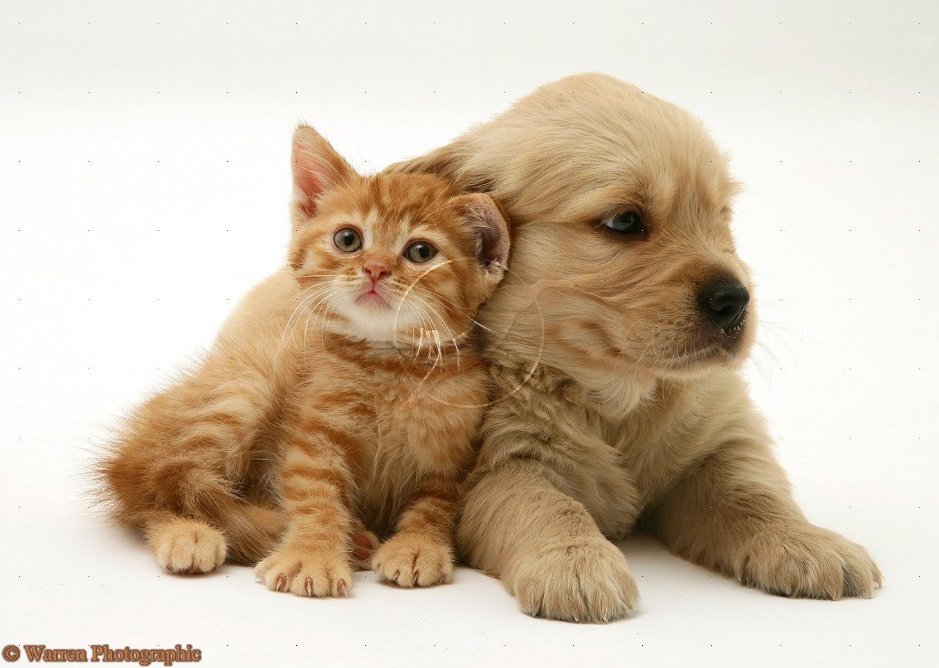 Golden Retriever Pup With Ginger Kitten Cute British