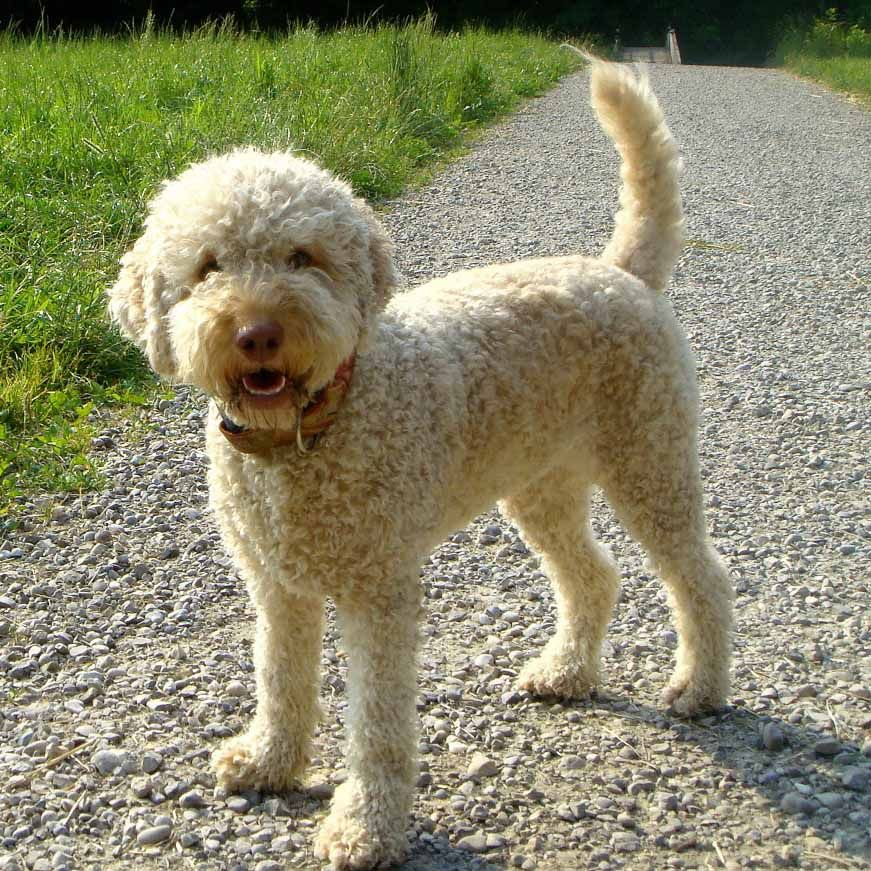 Lagotto Romagnolo Breed Guide Learn About The Lagotto Romagnolo Dog Breeds Lagotto Romagnolo Best Dogs