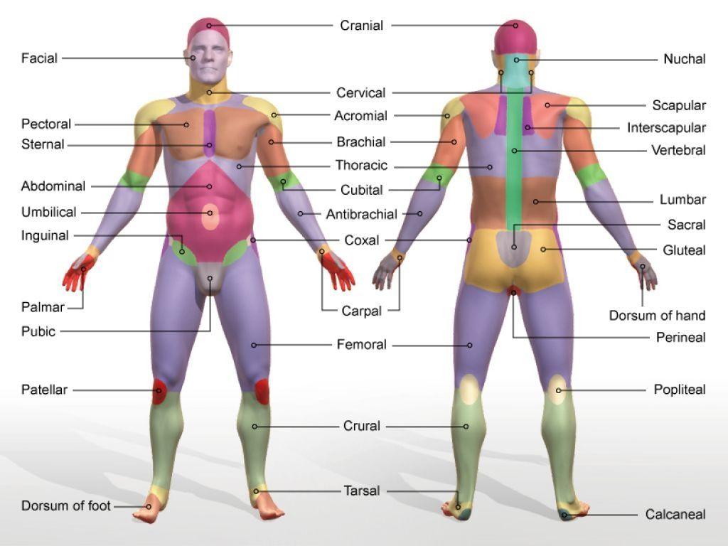 Body Regions Anatomy Body Regions Anatomy Gallery