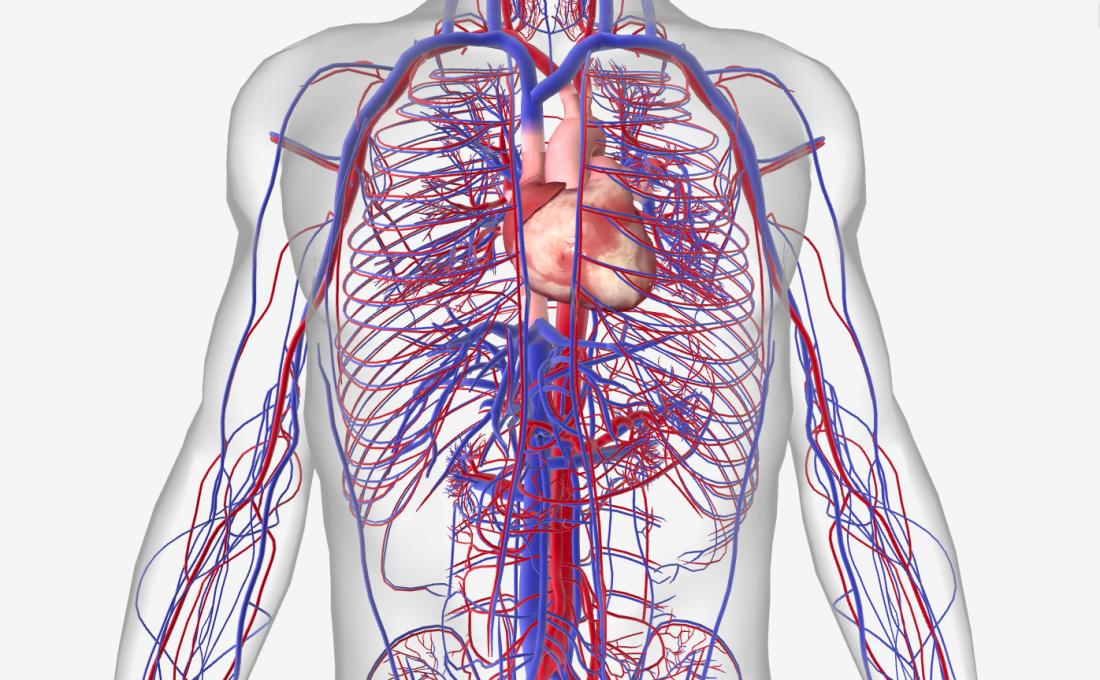 Human Heart: Anatomy, Function & Facts | Circulatory ...
