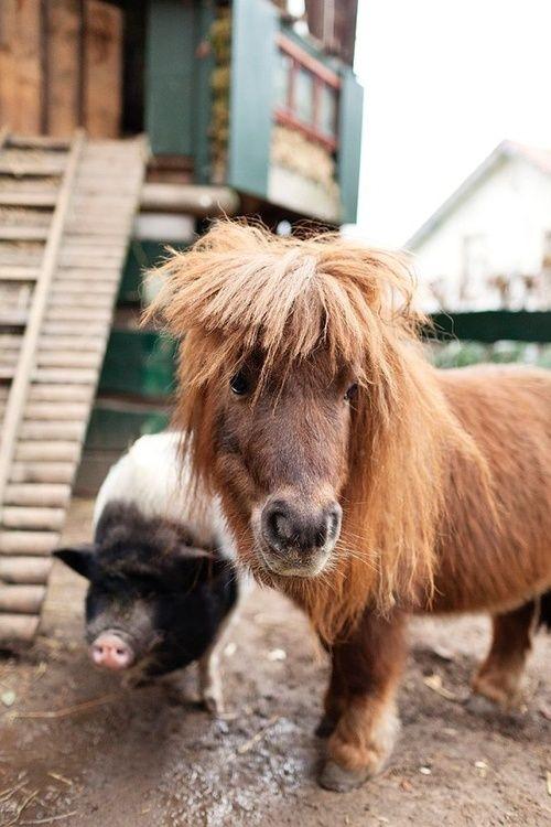 shetland pony and little pig | Horses, horses, horses ...