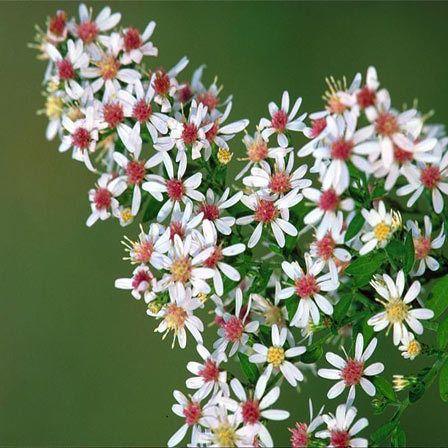 Top 15 Most Beautiful Aster Flowers Aster Flower Flowers Flower Beauty