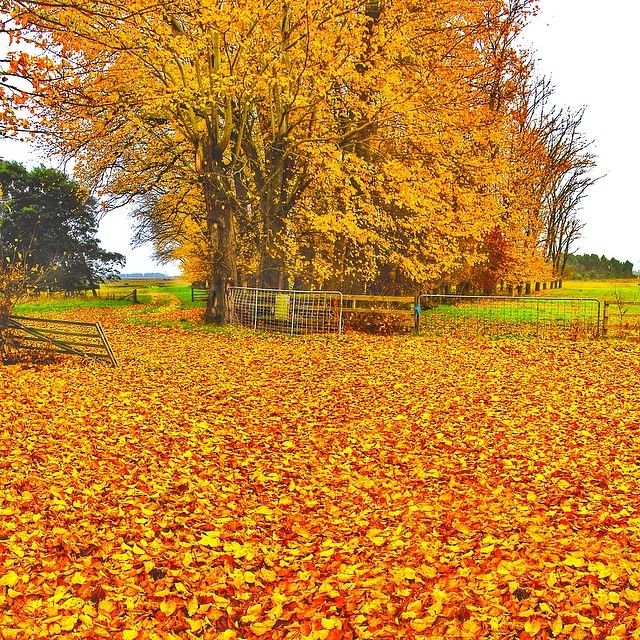 Autumn Leaves In All Their Glory Behind Historic Clarendon House Autumn Tasmania Discovertasmania Image Credit Kathryn Lea Tasmania Autumn Scenery Scenery