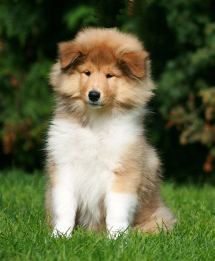 My 2nd Puppy In Paradise Sheltie Puppy Puppies Sheltie Dogs