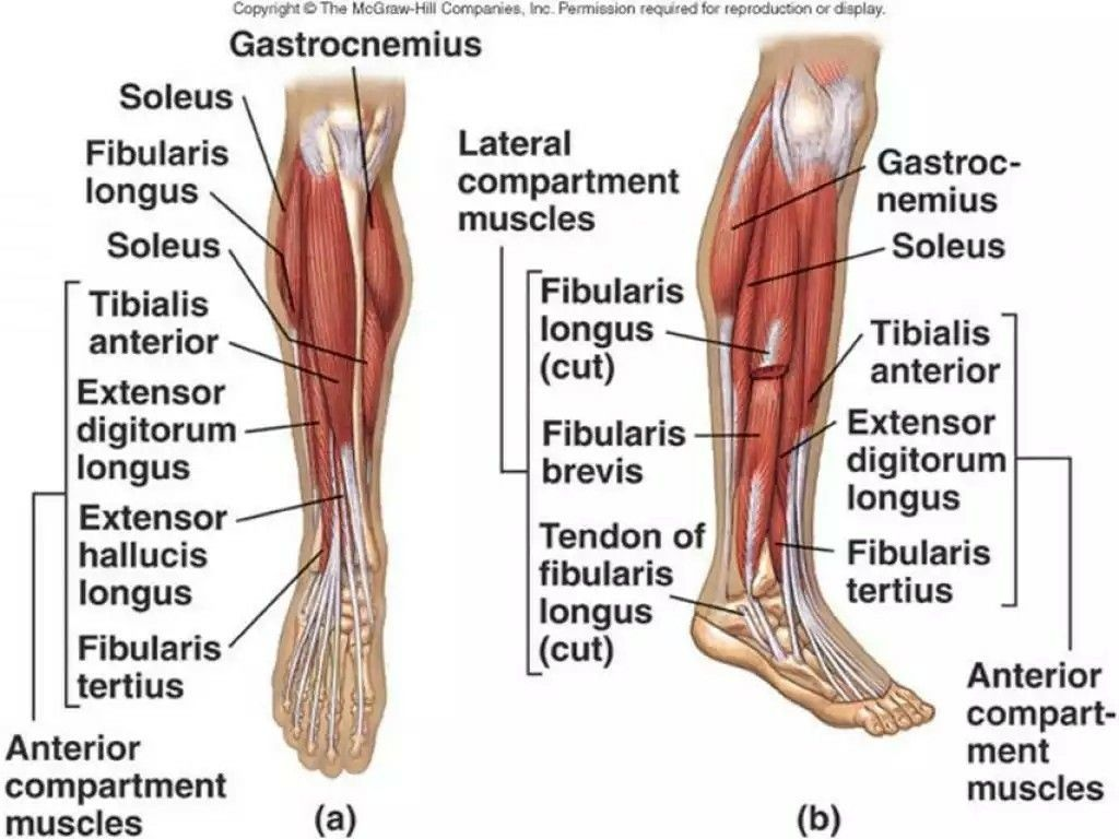 Lower Leg Anatomy Front