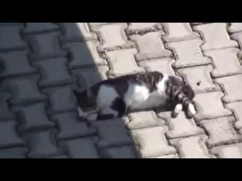 Dog tries to help injured cat
