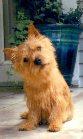 Cute Norwich Terrier Norwich Terrier Puppy Norwich Terrier