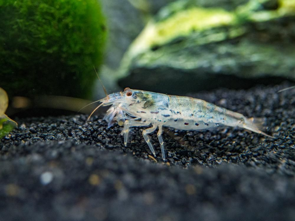 Green Lace Filter Shrimp Atyopsis Pilipes Filter Feeder Green Lace Amano Shrimp