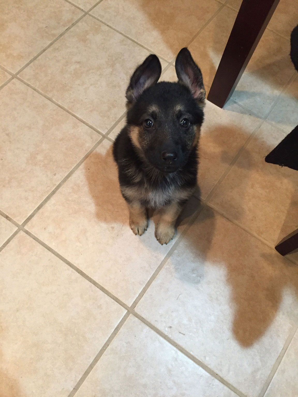 This Is Ava She Is 10 Weeks Old German Shepherd Puppy And Knows Sit