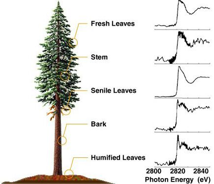 Redwood Tree Drawing   ... the majestic redwood forest resources ...