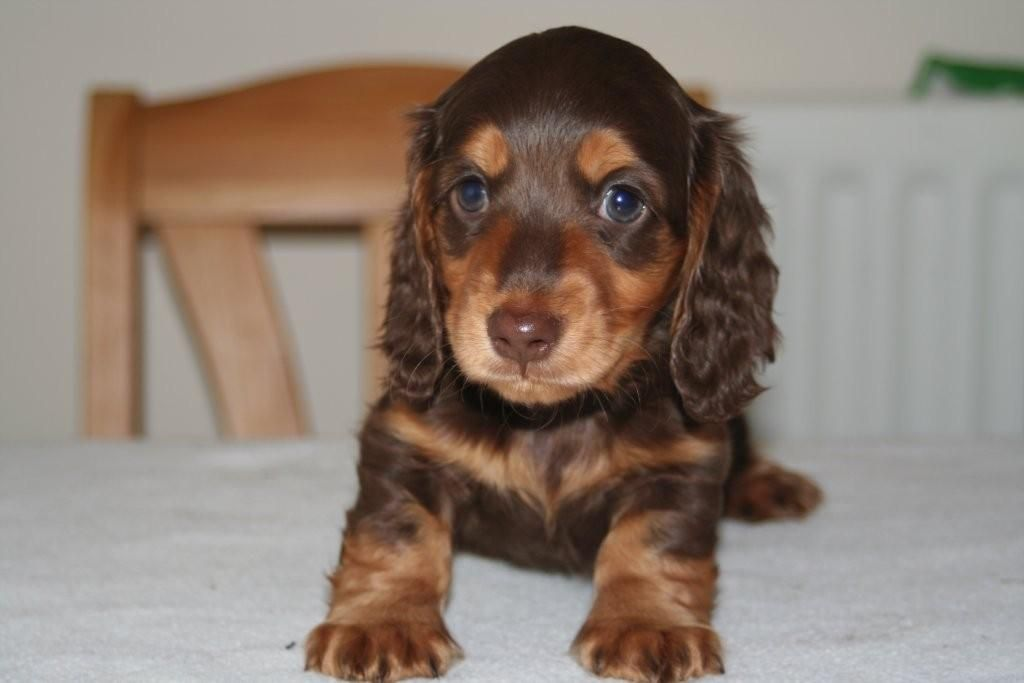 Chocolate Tan Dachshunds Love My Hudson Dachshund Puppy Long