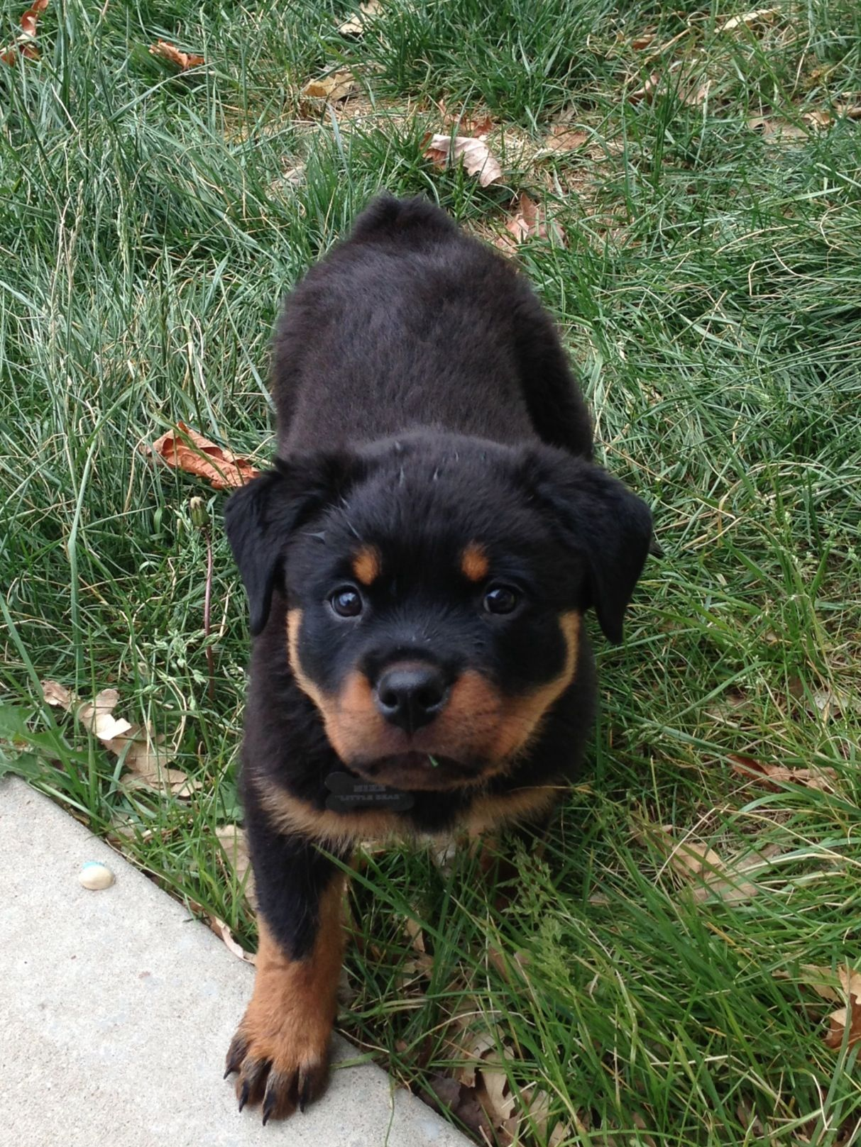 Baby Rottweiler So Cute I Want One Baby Rottweiler