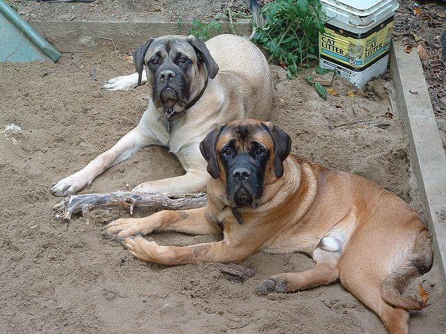 Rv Travel With Giant Breed Dogs Like Mastiffs And Great Danes So