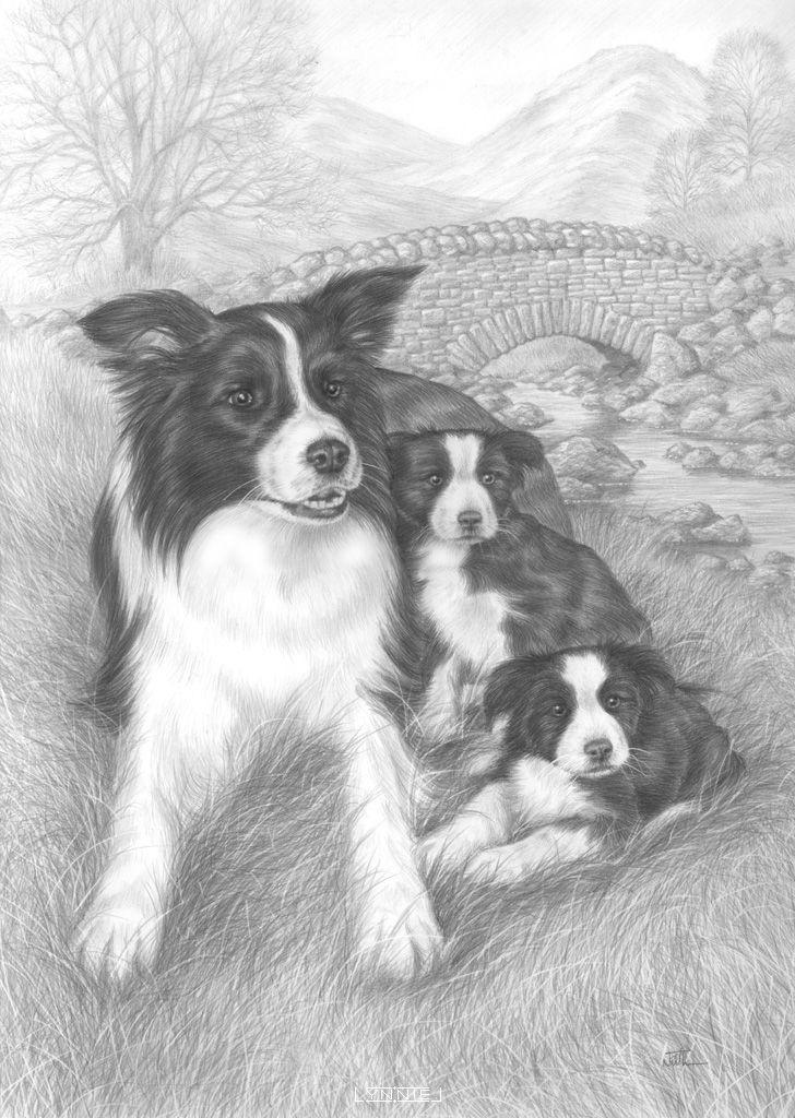 Coloring For Adults Kleuren Voor Volwassenen Border Collie Art Animal Sketches Dog Art