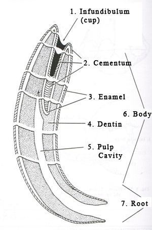 Equine Tooth Anatomy | Veterinary Medicine | Pinterest | Veterinary ...