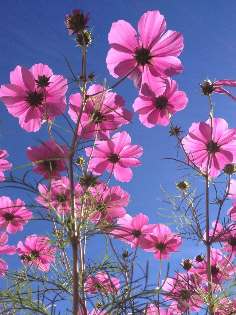 Cosmea Unique Plants Photography Inspiration Nature Beautiful Flowers