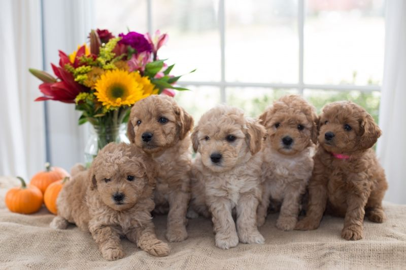 Mini Petite Goldendoodles Genetic Tested Copper Oaks Goldendoodles Goldendoodle Goldendoodle Puppy For Sale Goldendoodle Puppy
