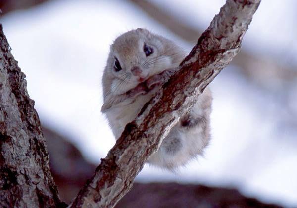 ¿Sabías de la existencia de la ardilla voladora enana japonesa? ¡Podrás encontrarla activa de noche en los bosques de Japón!