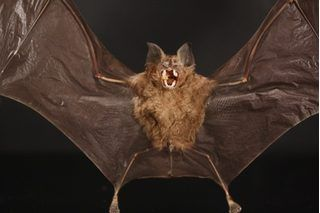 How To Get Rid Of Bats With Peppermint Oil