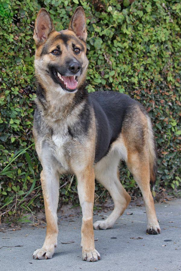 Tara Von Treuen Is A Beautiful 12 Month Old German Shepherd On The