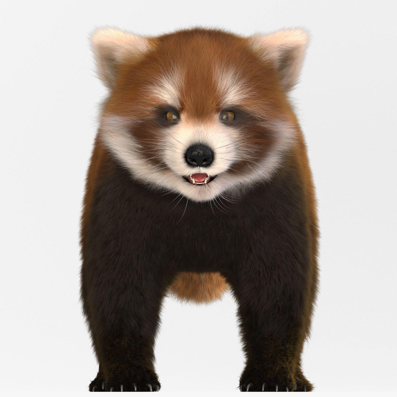 red lesser panda 3d model max fbx tga 2