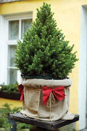 Learn how to buy, use and replant a living Christmas tree. From MOTHER  EARTH NEWS magazine. - Caring For A Live Christmas Tree - Nature And Environment Nature