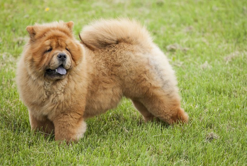 45 Chow Chow Characteristics In 2020 Dogs Dog Magazine