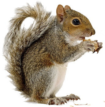 Squirrel PNG Squirrel, Animals, Animals for kids