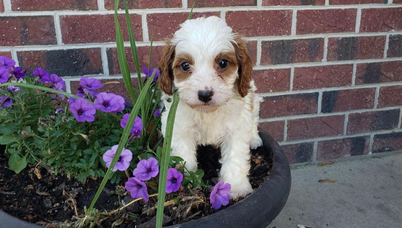 Oliver in 2020 Puppies, Puppy adoption, Puppy finder