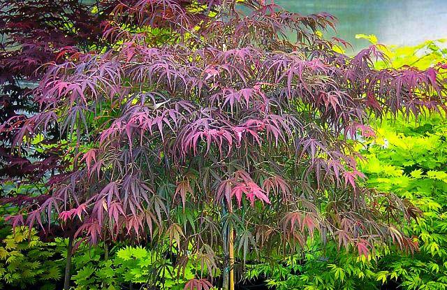 Villa Taranto Japanese Maple Japanese Maple Japanese Maple Tree Acer Palmatum