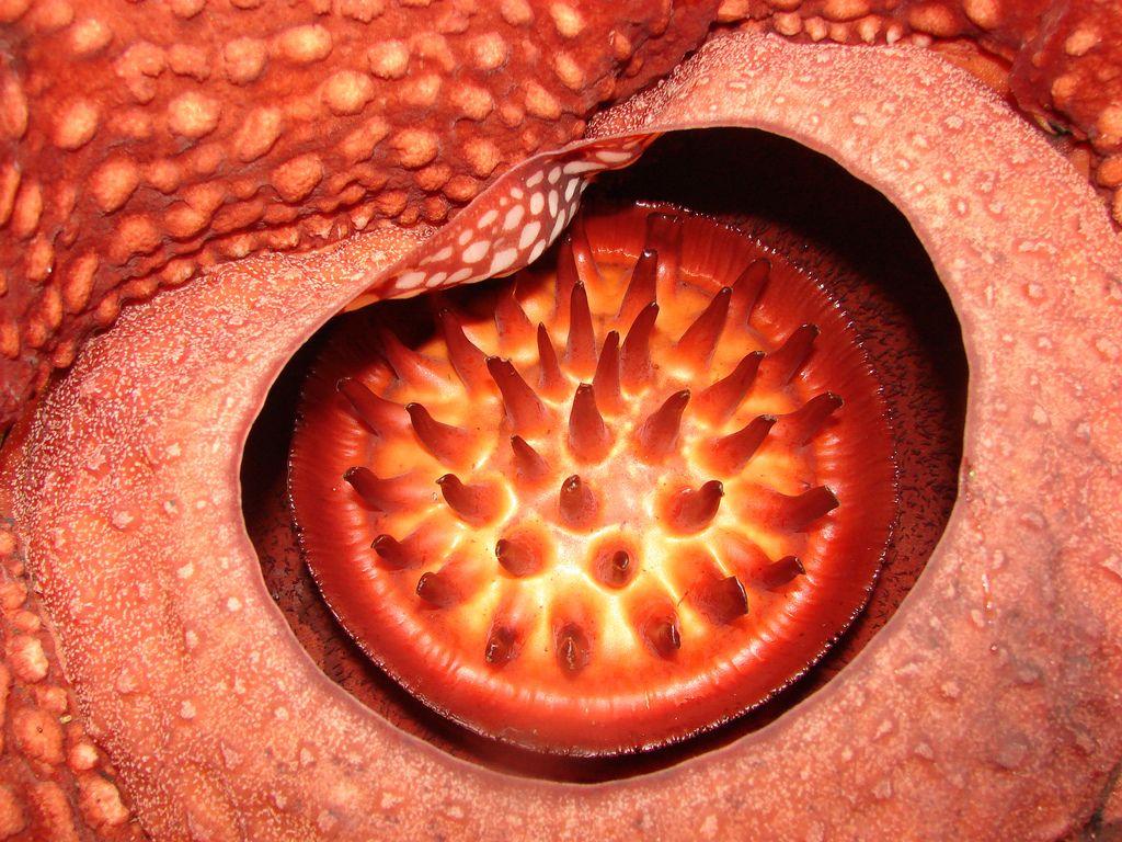 Rafflesia Arnoldii Planting Flowers Food Large Flowers