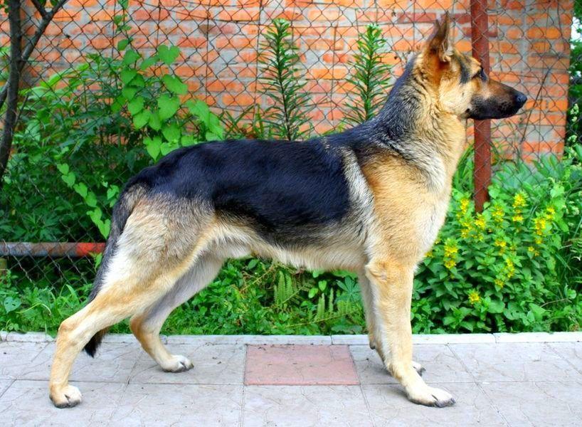 Собака восточно-европейская овчарка (фото): выносливый ...