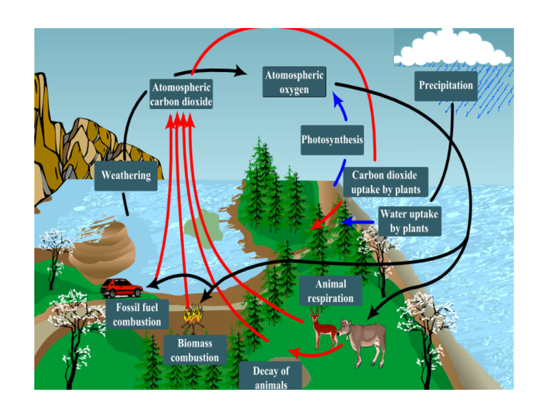 Respiration photosynthesis carbon oxygen cycle for kids | Oxygen ...
