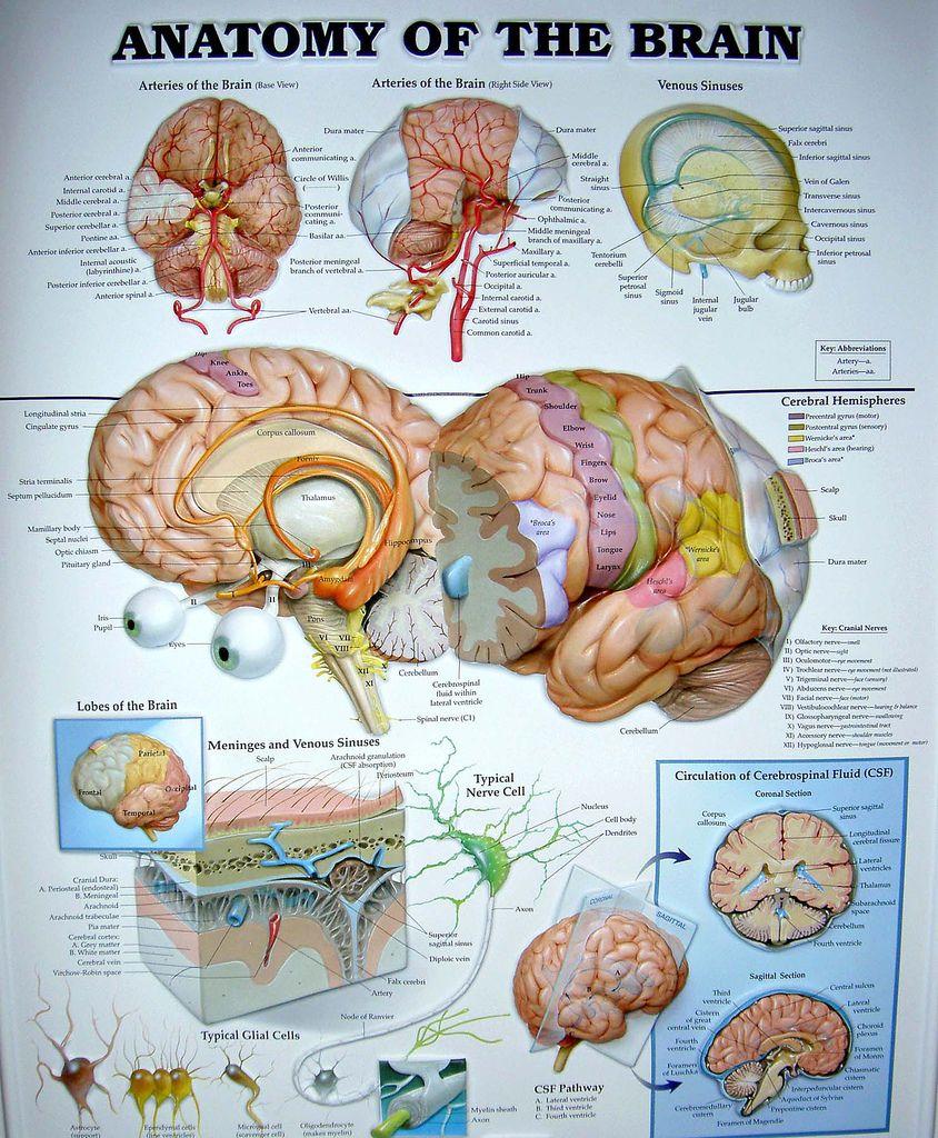 Brain Anatomy Chart | Brain anatomy, Brain and Medicine