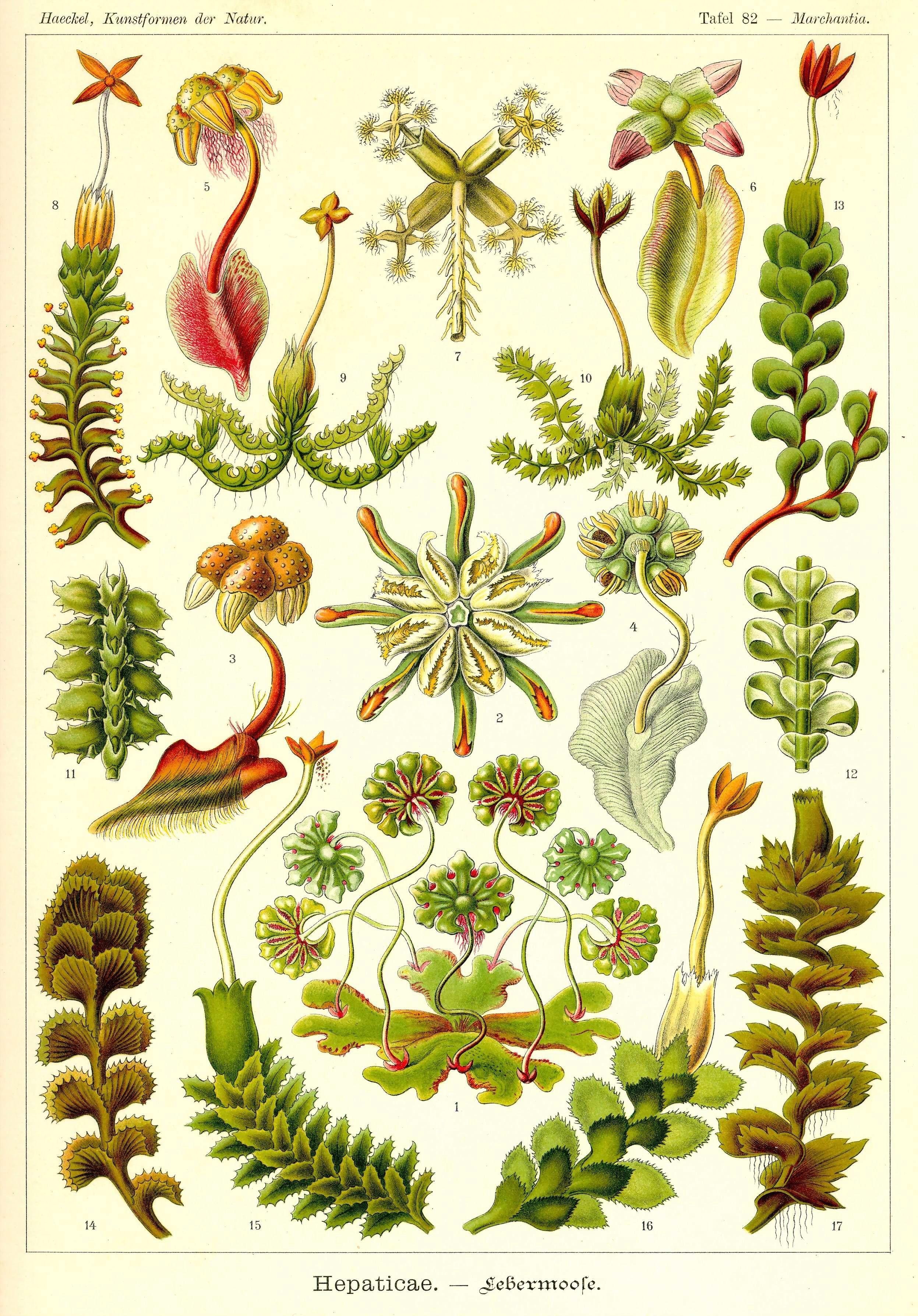 Kunstformen der Natur Tafel 82 - Marchantia
