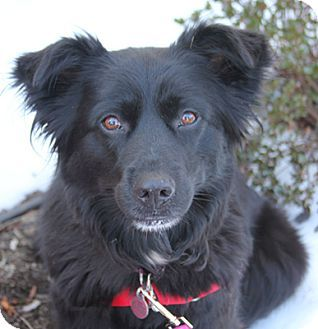 Larchmont Ny Border Collie Mix Meet Flicka A Dog For Adoption Dog Adoption Border Collie Mix Dogs